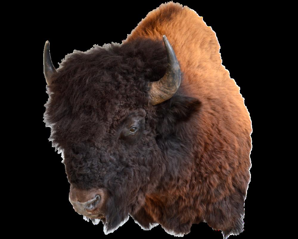 bison may'14.png
