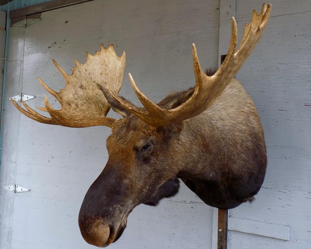 moose no bell shoulder.jpg