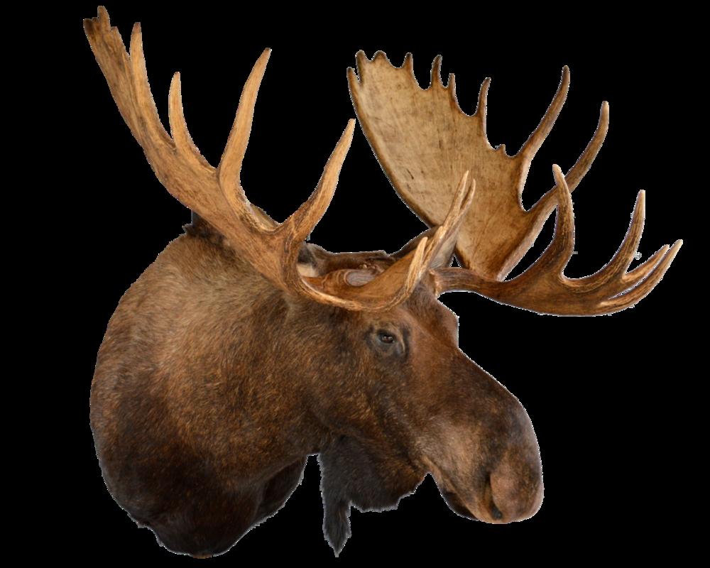 moose head may'14.png
