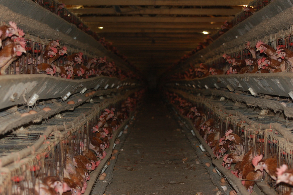 Caged, battery hens - debeaked, loaded with hormones, anti-biotics and GMO grain. Doesn't look like real food when you see it like this...