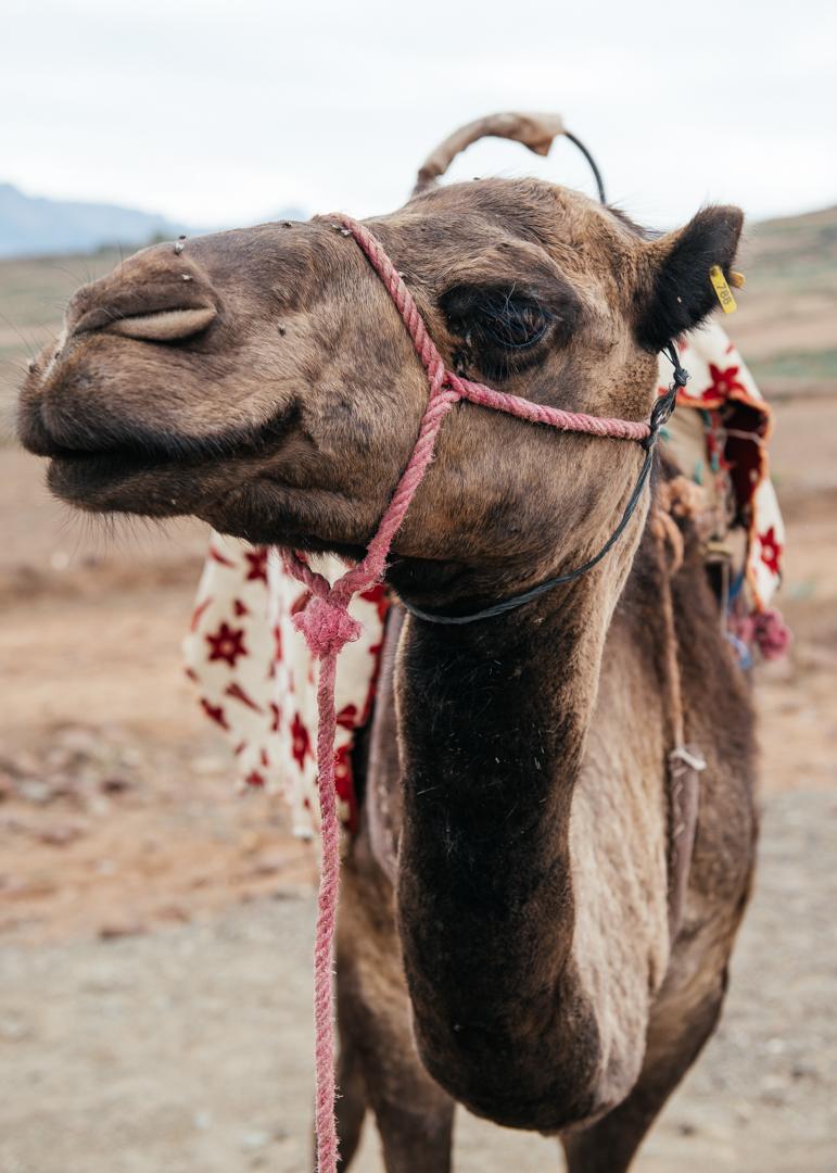 Grumpy camel.