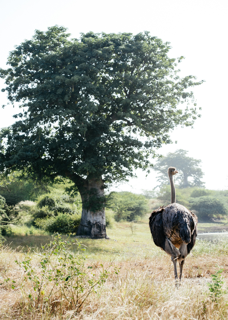 Ostrich with a baobab tree in the background.