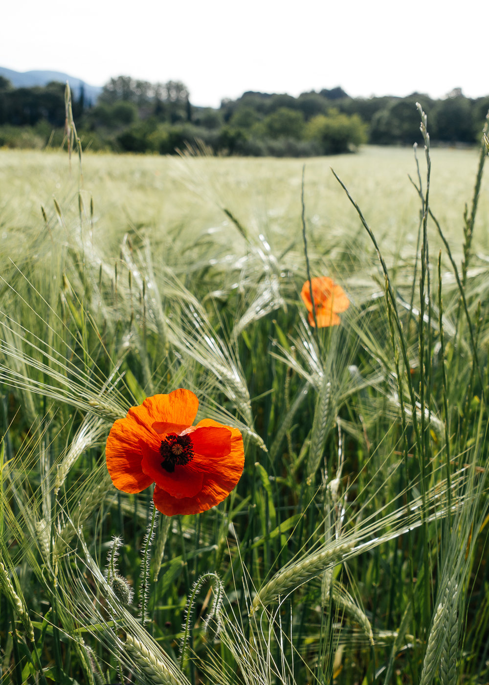 Red poppies line the wheat fields.