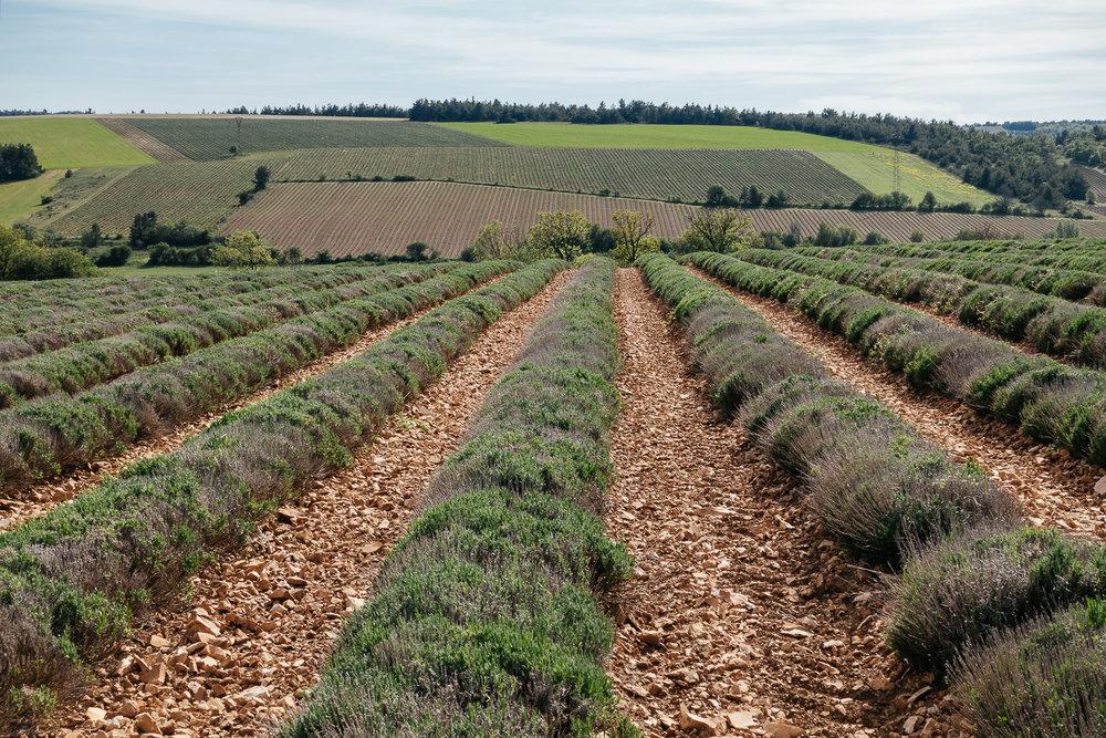 Lavender Fields!