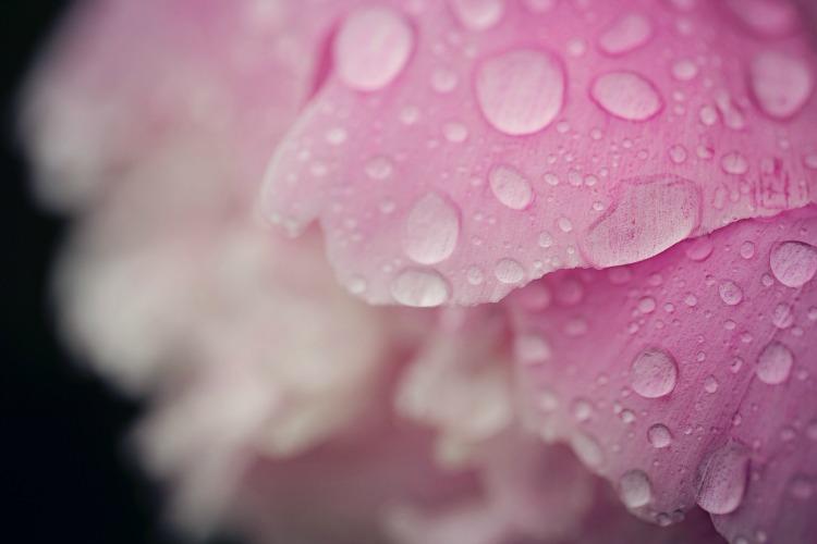 Rain-on-petals.jpg