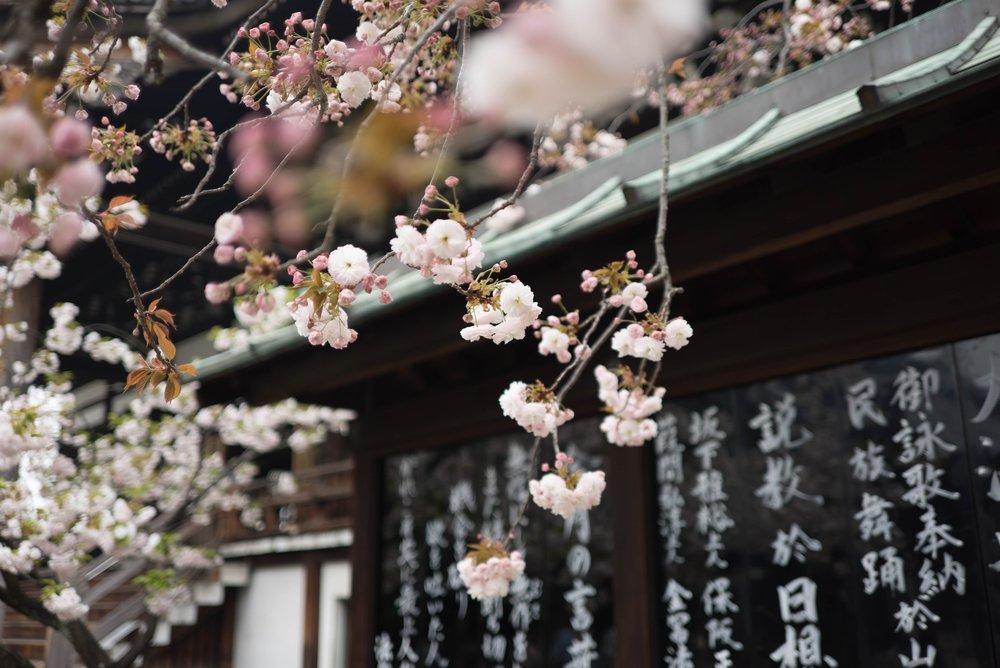 Opplev våren i Japan -