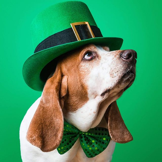 Happy Paddy's Day! 🍀 #greenisthenewblack #topothemornintoya #stpatricksday #bassethound @bassetrescueacrosstexas