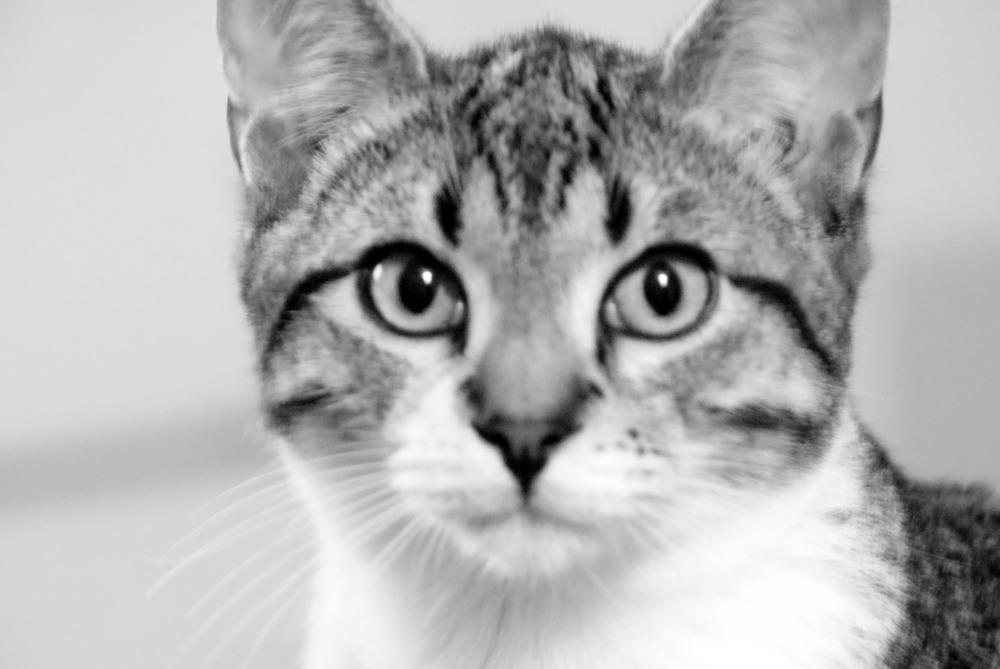 stockvault-cat-staring115605.jpg