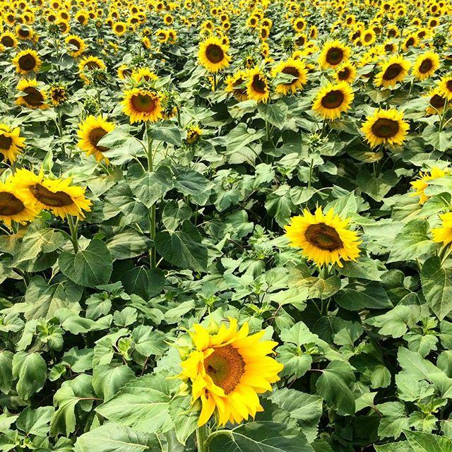 Essence of summer 🌻🌻🌻 Italian summer 😉. Настоящая эссенция итальянского лета - бесконечные поля пшеницы, кукурузы и подсолнухов, катушки с сеном и лаванда. 💛💜❤️