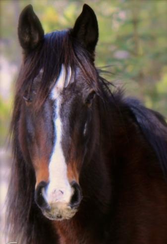 Esperanza (rescued Alberta Wild Horse)
