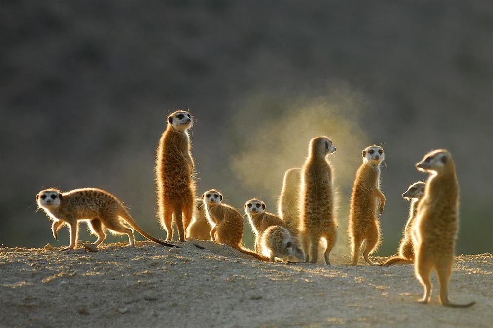 08012013_08012013_meerkats_2.JPG