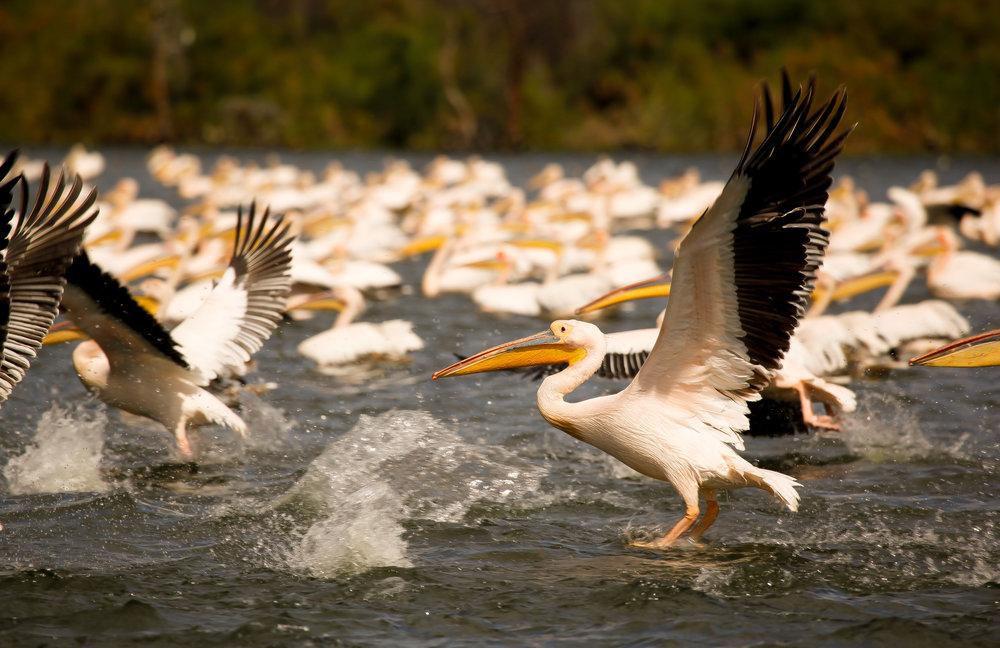 pelican 2 (1 of 1).jpg