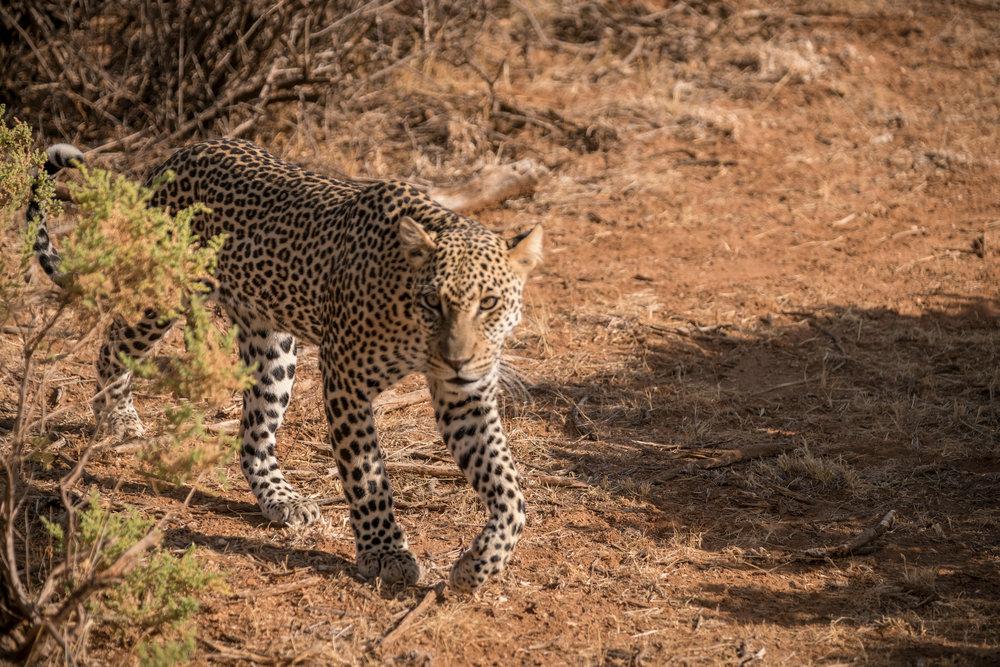 A solitary leopard .jpeg