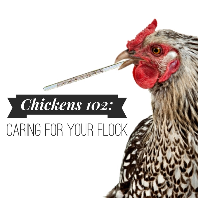 Chickens 102.PNG