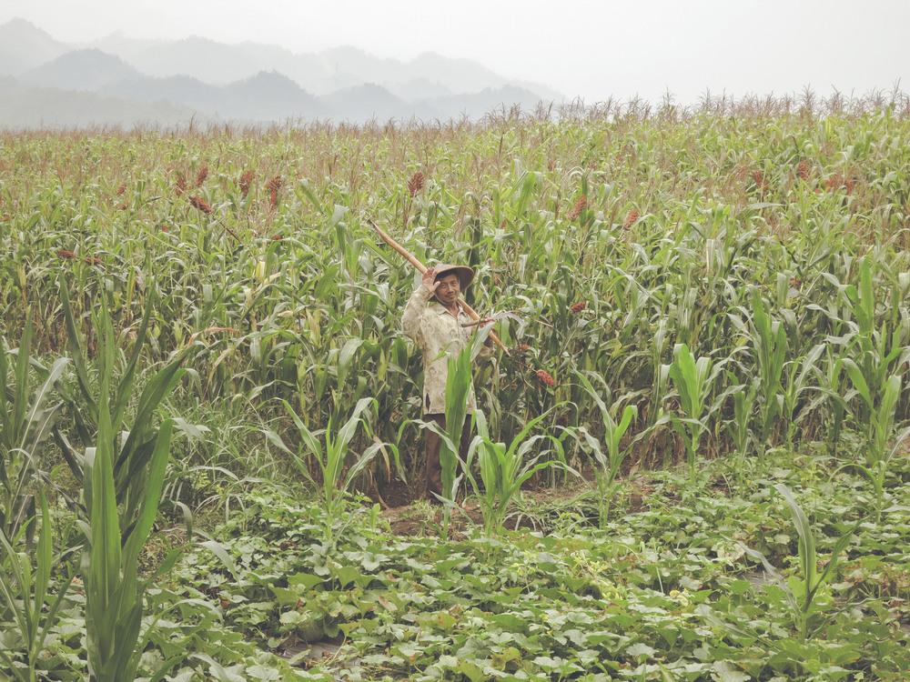 Cultivos de maíz, Java.