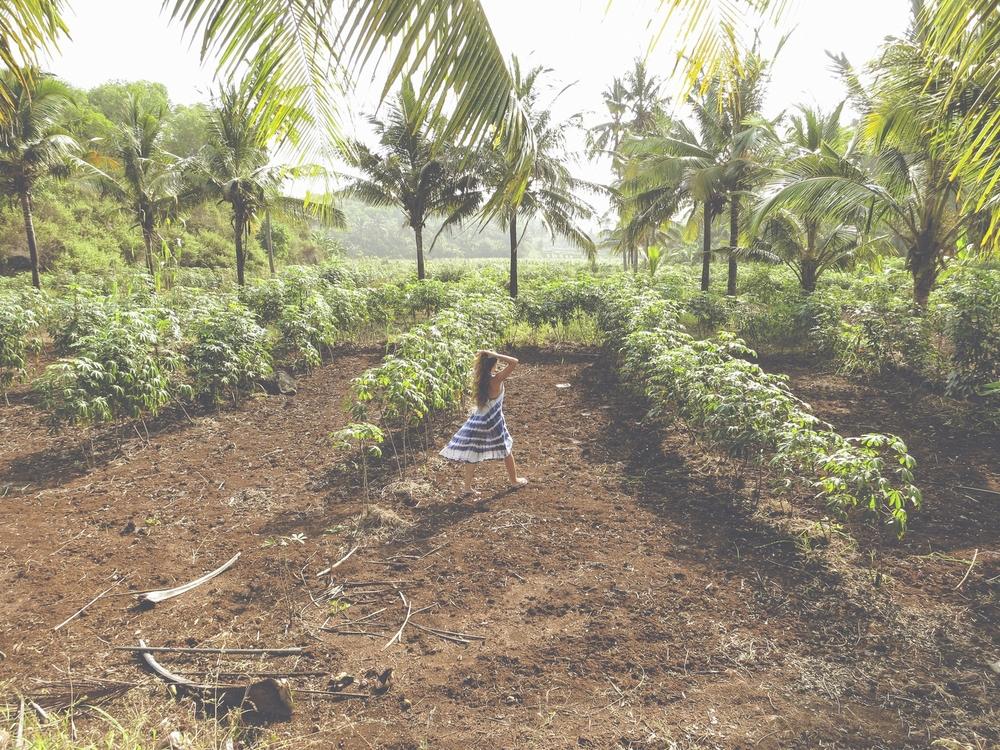 Cultivos de maní en Java.