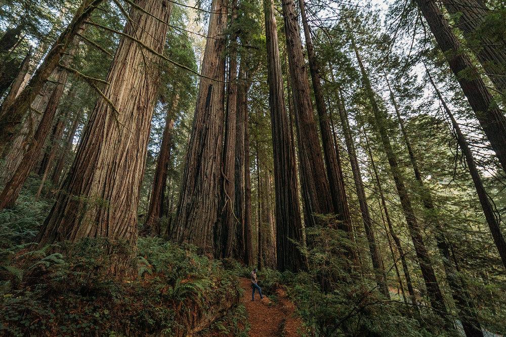 Redwoods 4.jpg