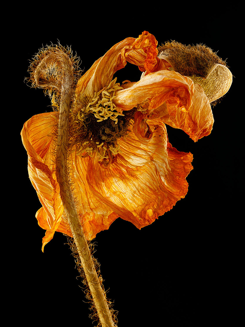 Dried Icelandic Poppy #1