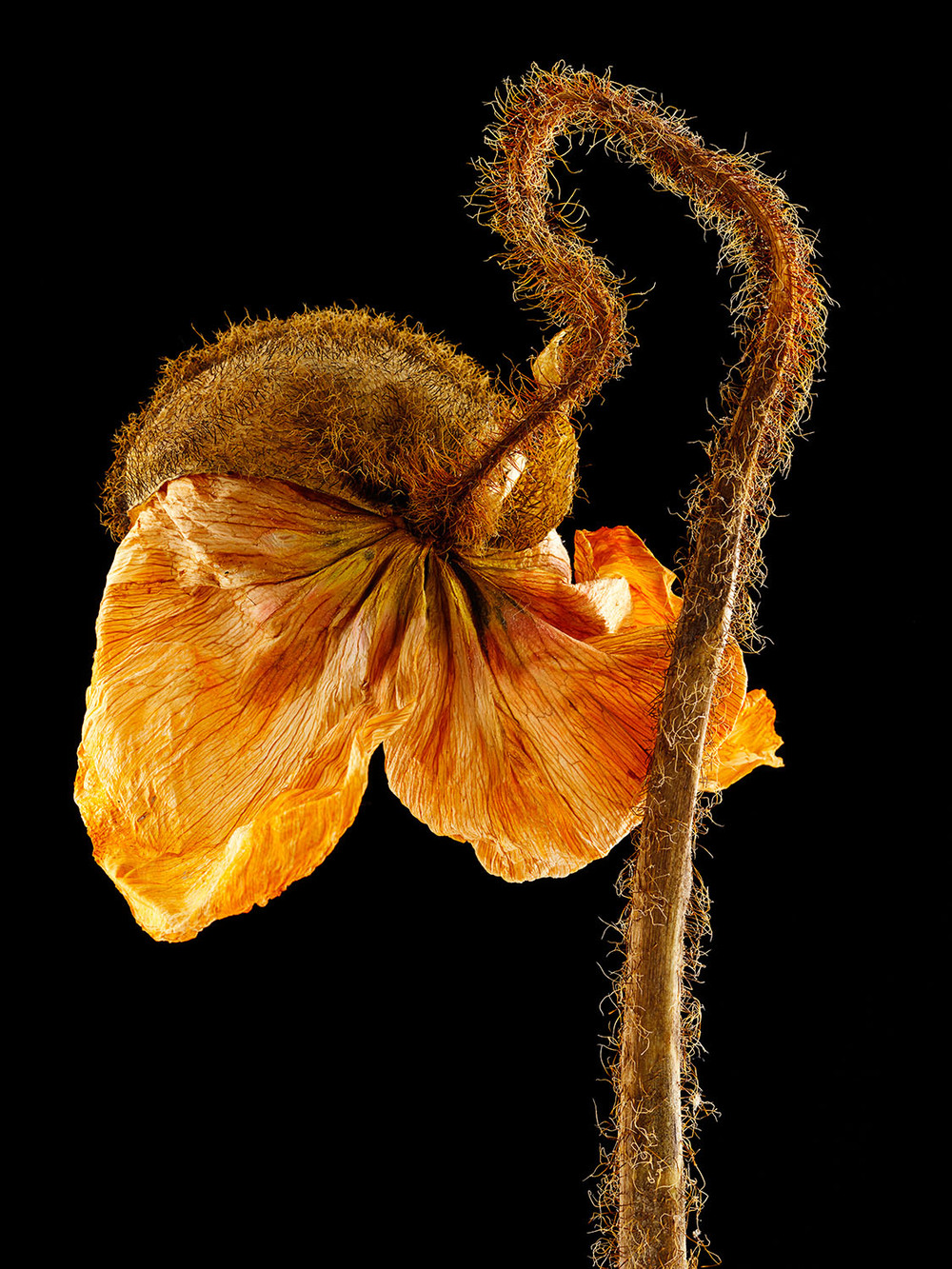 Dried Icelandic Poppy #3