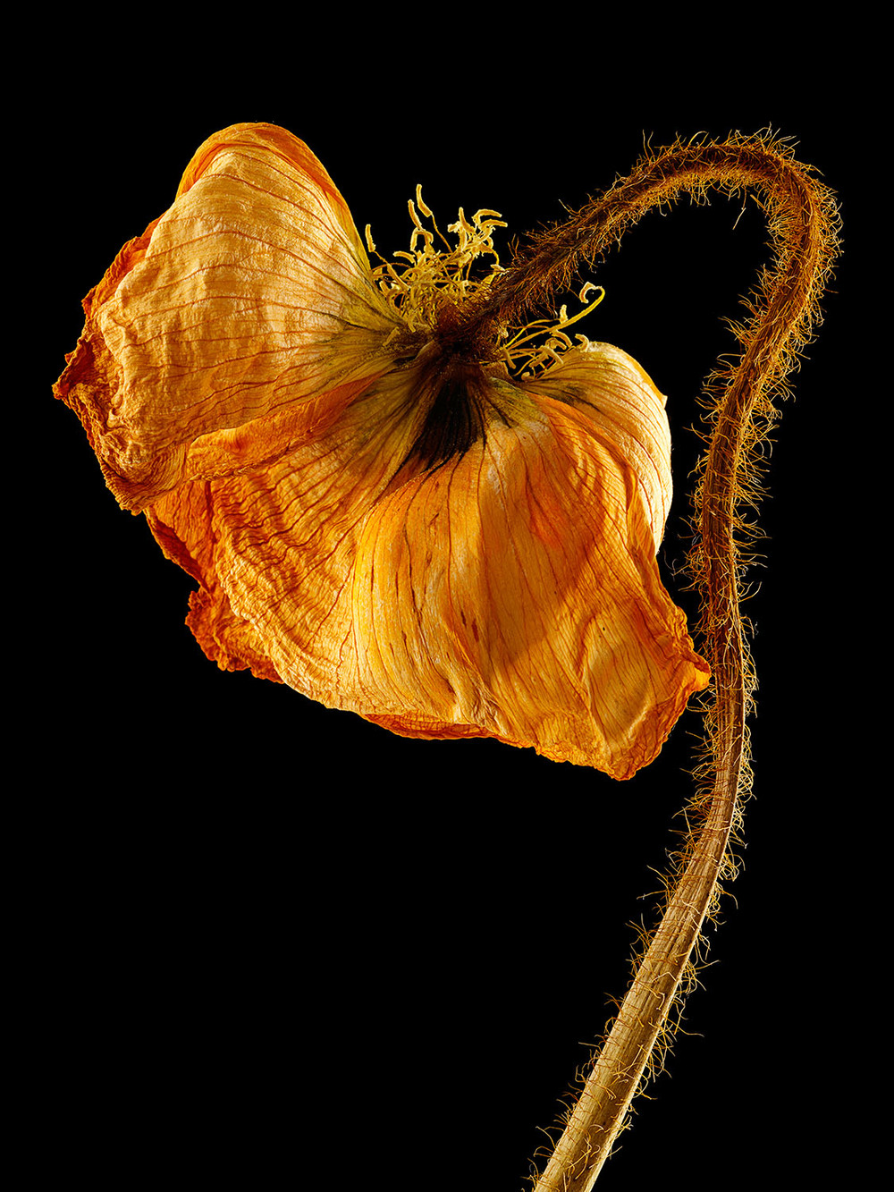 Dried Icelandic Poppy #2