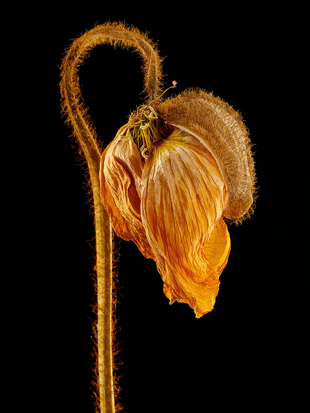 Dried Icelandic Poppy #4