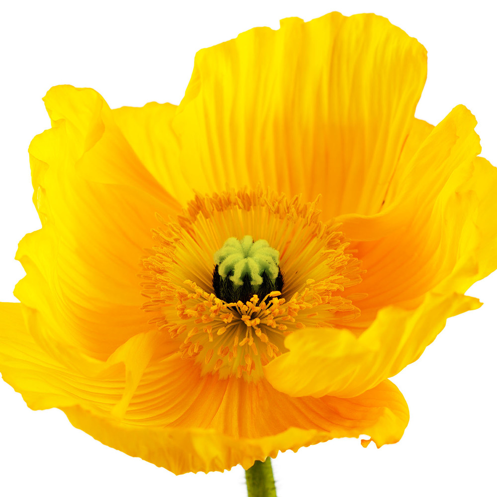 Yellow Poppy #1