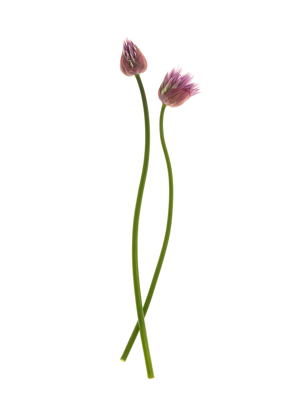 Two Chive Flowers