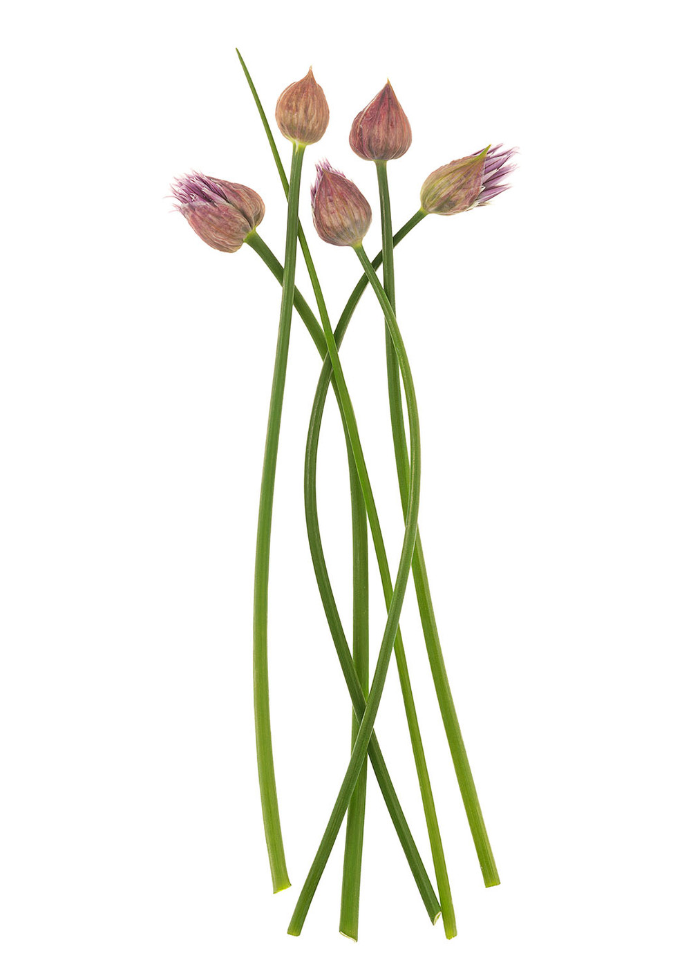 Five Chive Flowers