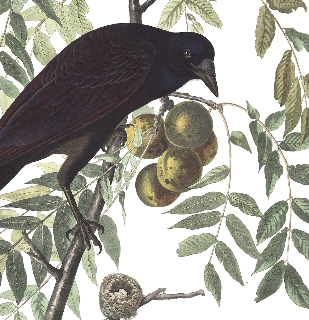The American Crow. Plate by James Audubon.