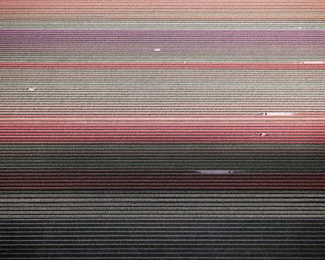 Tulips 01, Noordoostpolder Netherlands , 2016, Archival pigment print