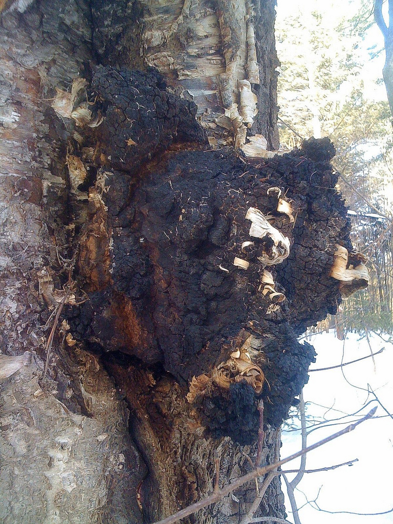 Finally, Chaga (Inonotous obliquus) is one of my favorite medicinal mushrooms, however it's not actually a mushroom, a spore producing fruiting body, but a sclerotium, a vegetative fungal growth. It grows on trees and especially the birch tree. It is highly antioxidant, anti-inflammatory, immune supporting, anti-tumor and a fantastic overall tonic for the body. One great way to add Chaga into your life is simply as a tea. It is easy and delicious!