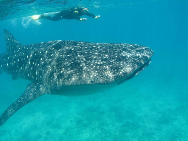 Ocean Whales Facts Whale Shark Facts