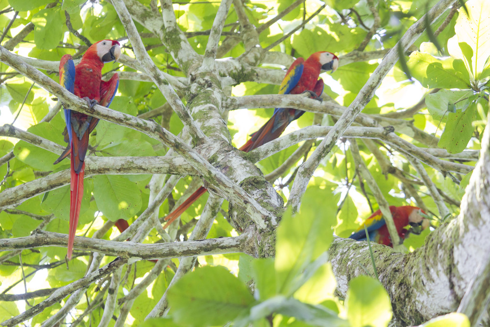 A gaggle of macaws (photo by Hal Brindley)