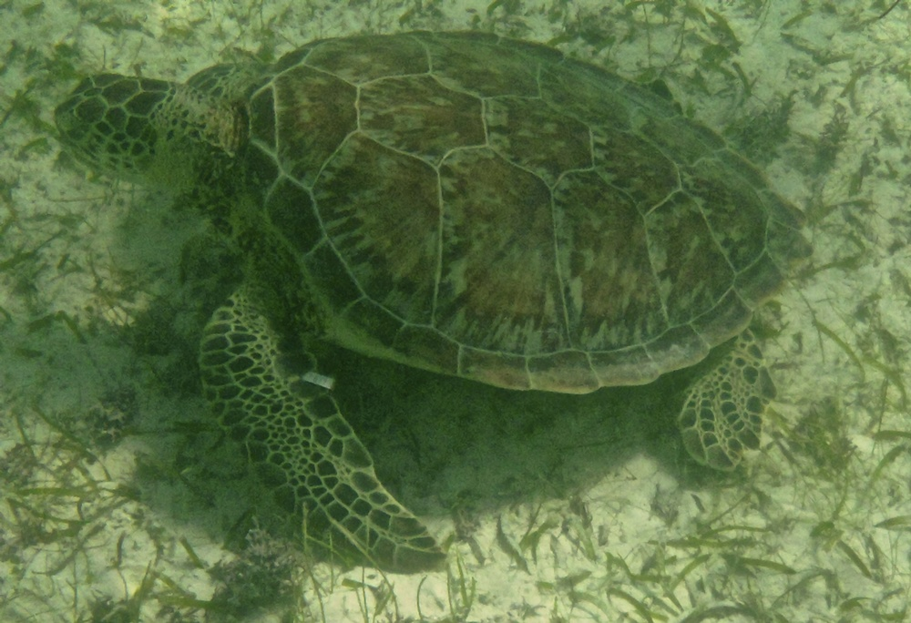 Green turtle swimming in Akumal Bay