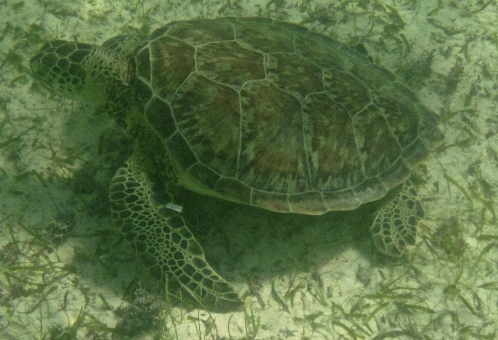Green turtle swimming in Akumal Bay
