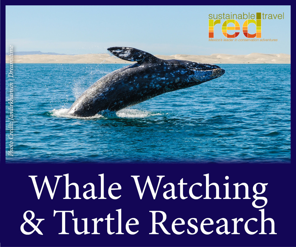 StW Baja Whales and Turtles RED.jpg