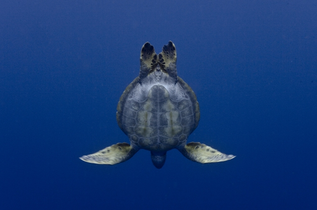 George Duffield/seaturtles.org