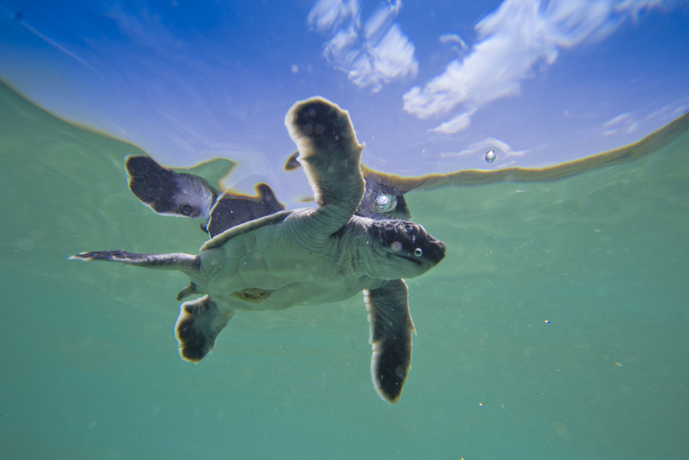 Saving Baby Turtles is Good For Your Brain