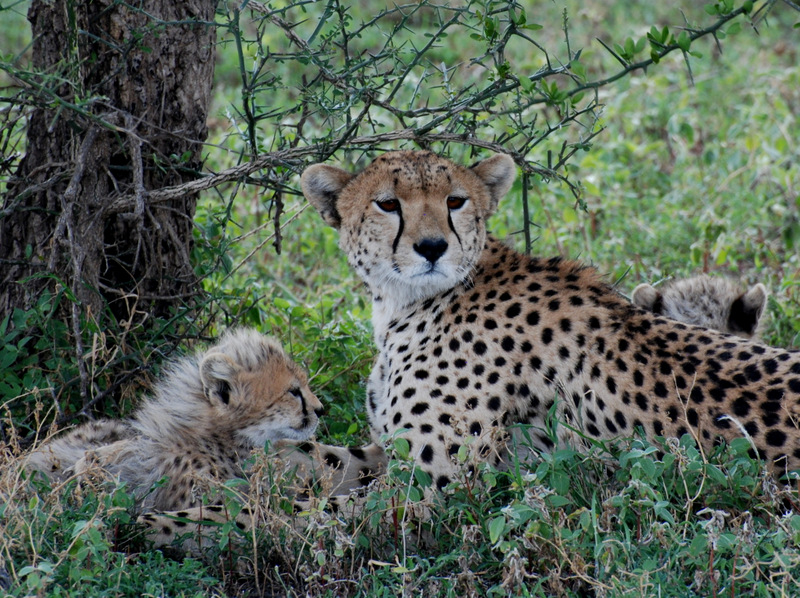 Cheetah and cubs.JPG