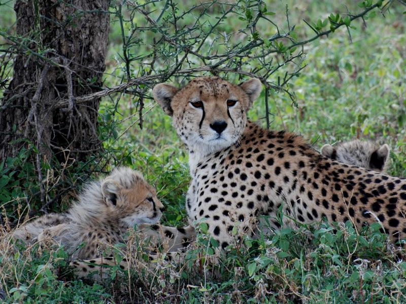 Cheetah and cubs.JPG