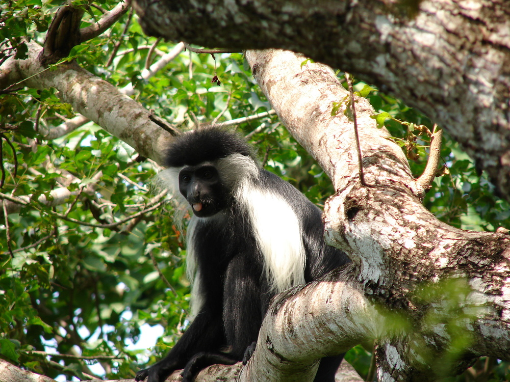 Colobus watching us watching him-small.JPG
