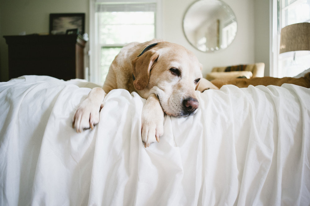 m.Newsom_photography_alice_newborn_photos_old_white_lab_on_bed_with_owner.jpg