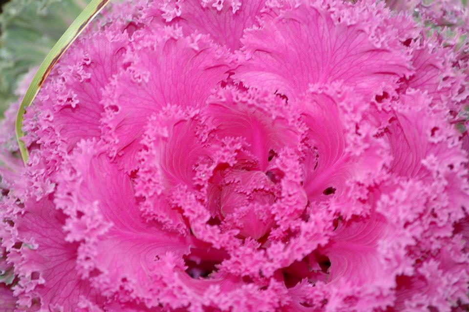 Garden pink flower.jpg
