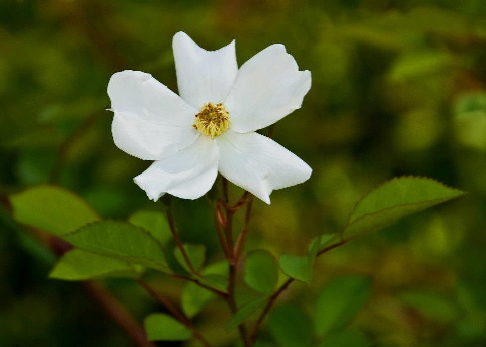 Garden white flower 02.jpg