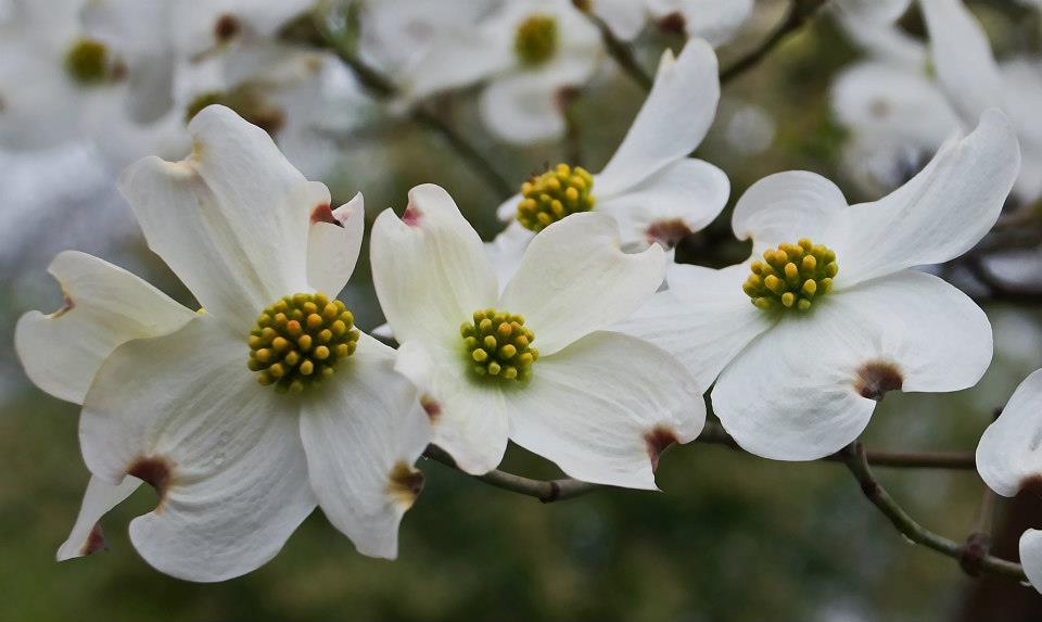Garden white flower 01.jpg