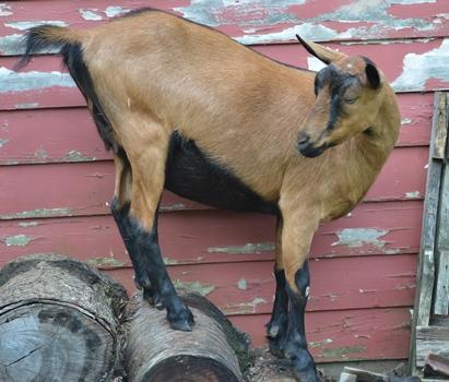 climbing goat.JPG