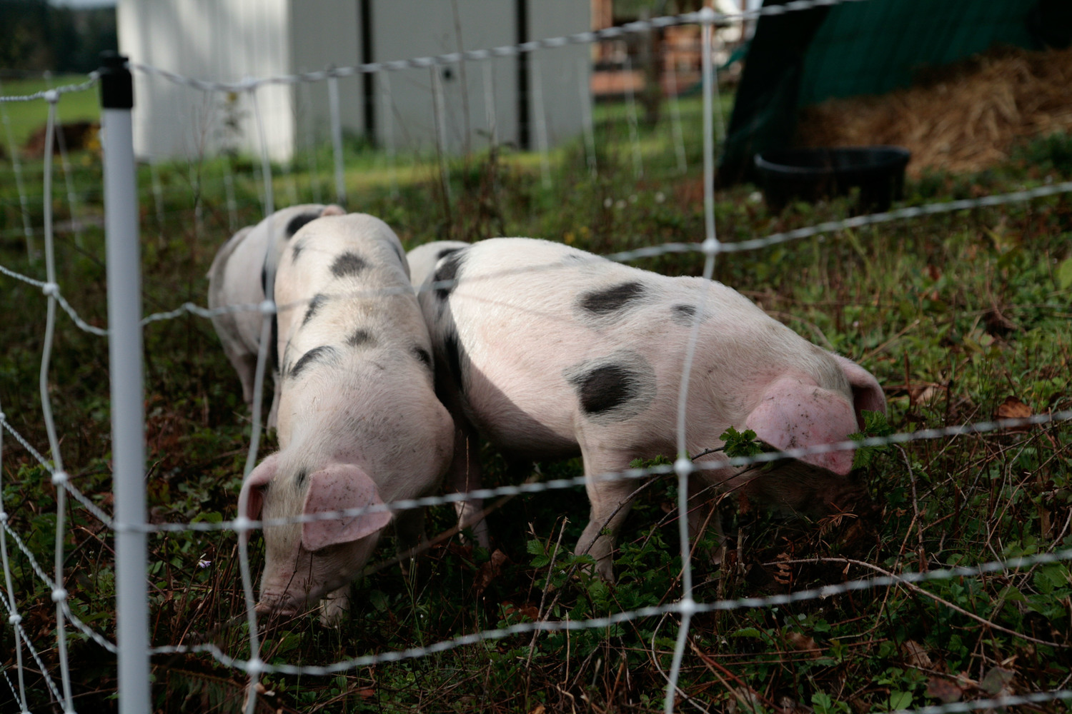 Small-Scale Rotational Pastured Pig Raising — Out of Ashes