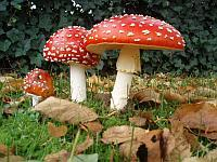 Fly Agaric (Amanita muscaria) via Wikipedia