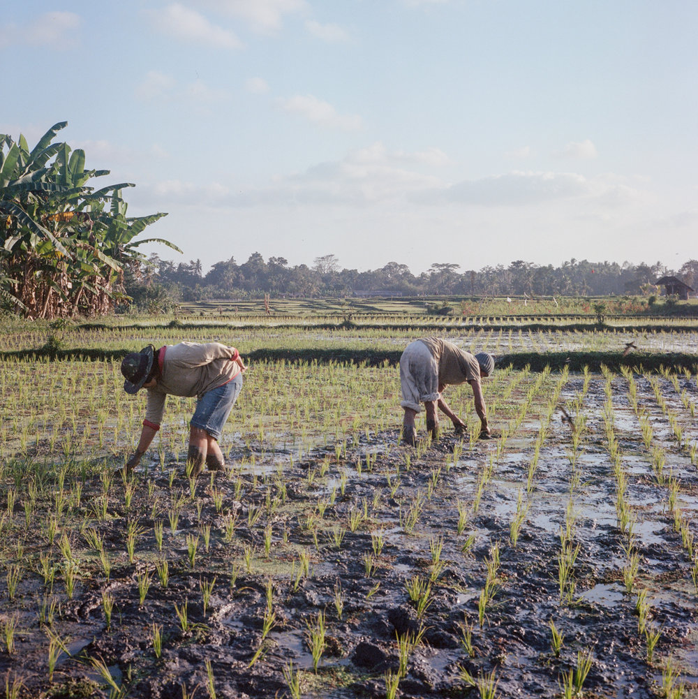 Farmers works in rice field at Tunjuk Village, Bali, Indonesia.