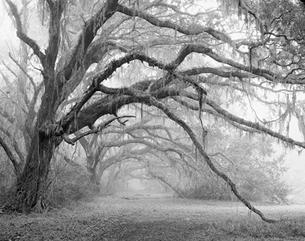 Live Oaks in Fog